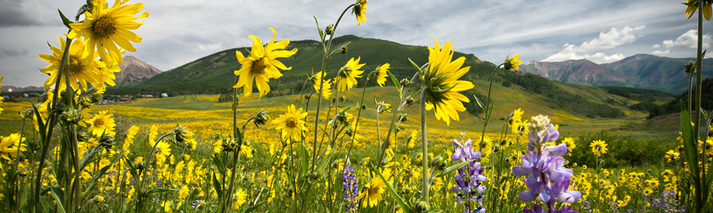 crested-butte-wildflower-photography