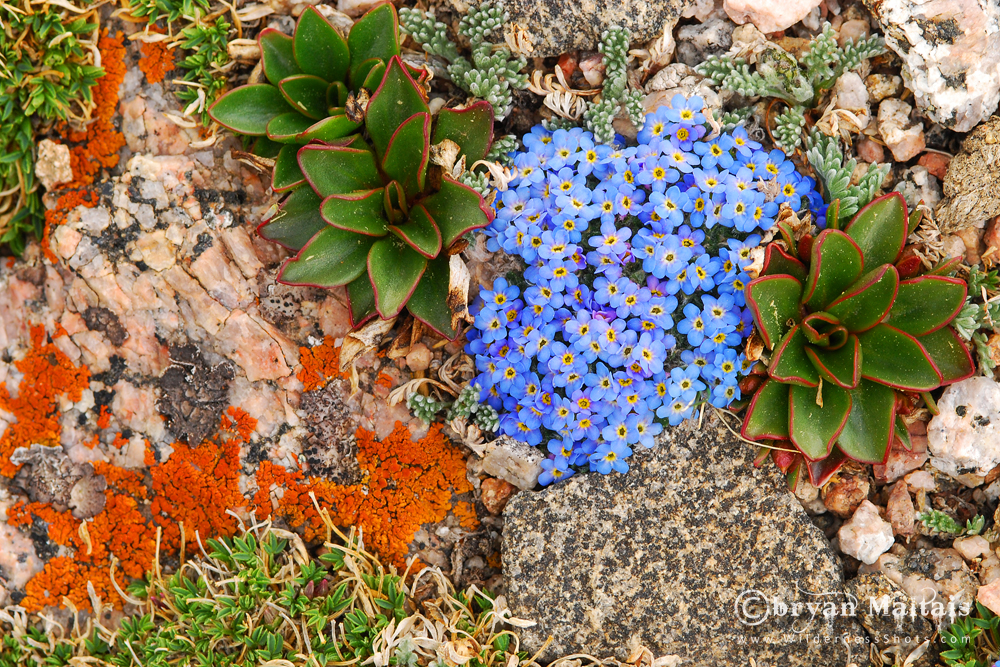 Alpine-forget-me-not