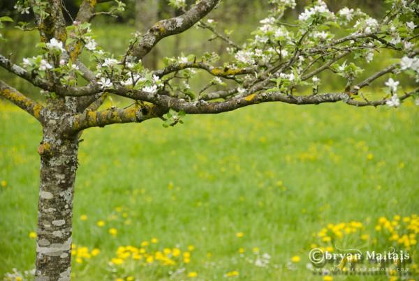 Apple Tree Germany