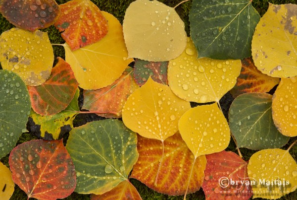 Aspen Leaves, Fall Colors