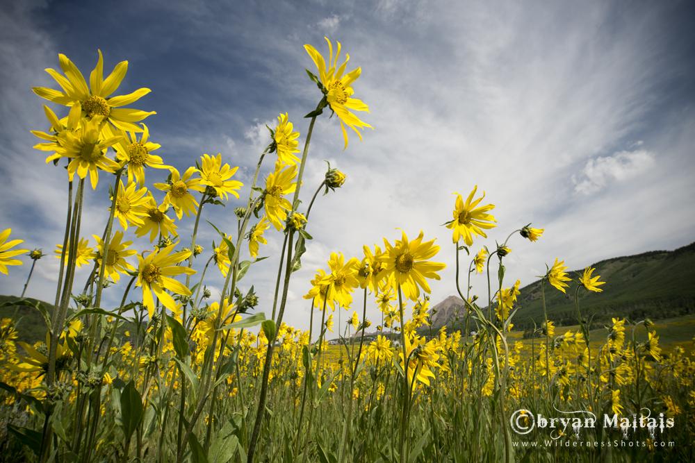 Aspen Sunflowers Crested Butte Colorado