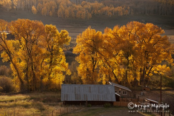Autumn Cottonwoods Colorado