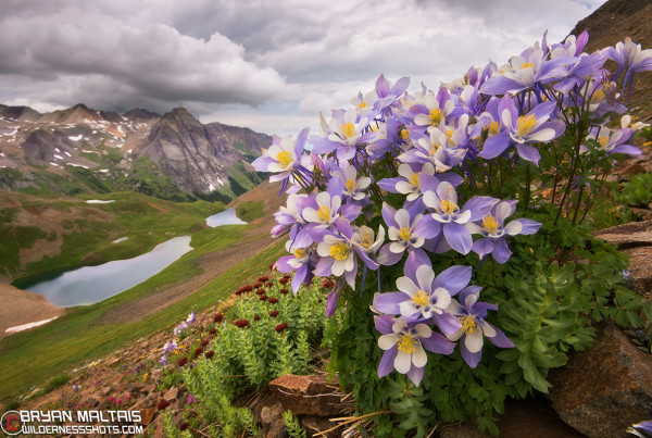 Colorado Columbine Blue Lakes San Juan Mountains