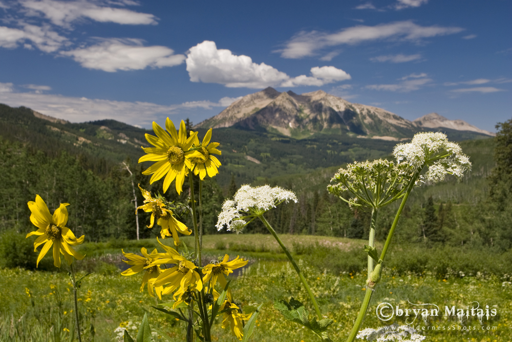 East Beckwith Mountain Colorado Wildflowers