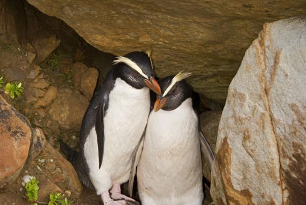 Fjordland Crested Penguins Nuzzling