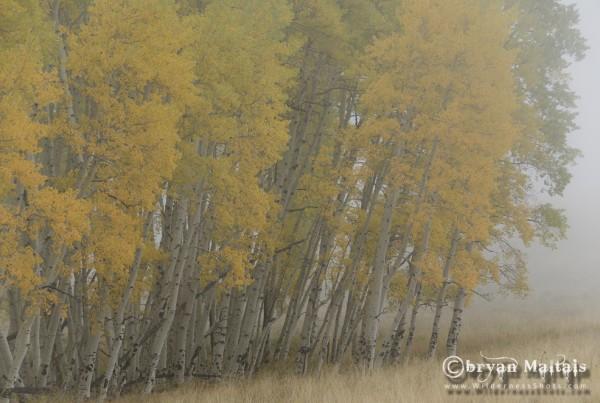 Gloomy Fall Aspens Colorado