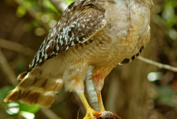 Red-shouldered Hawk with Snake