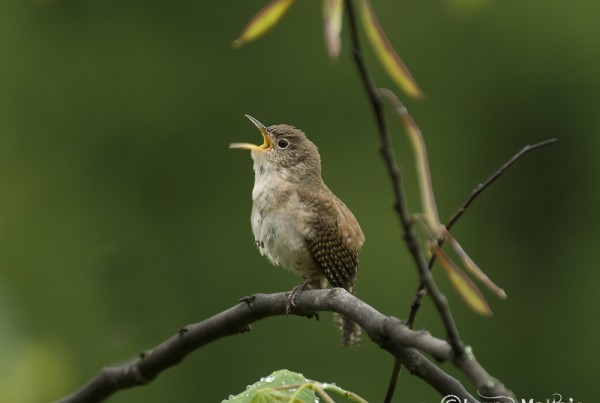 House Wren Missouri