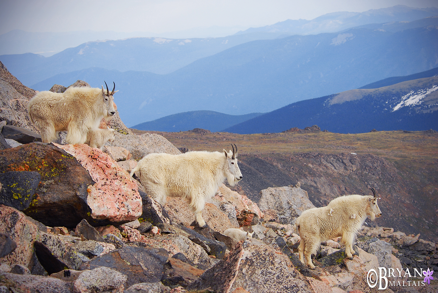 Mountain Goat Sentinals