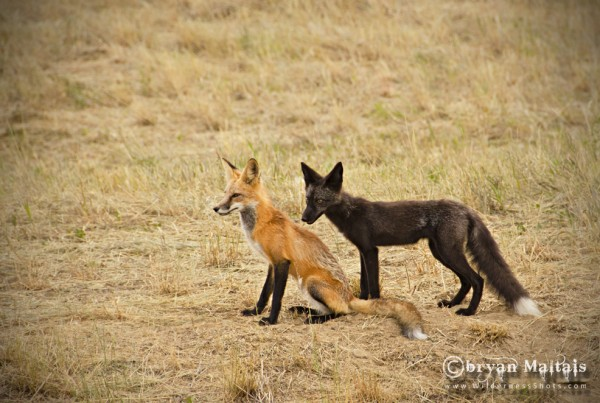 Red and Black Fox, Ft. Collins Colorado