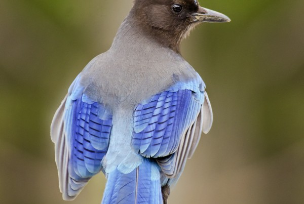 Steller's Jay, Mt. Rainier, Washington