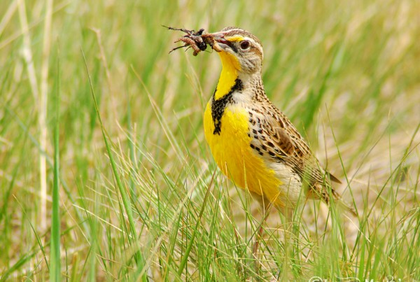 Western Meadowlark, Ft. Collins Colorado