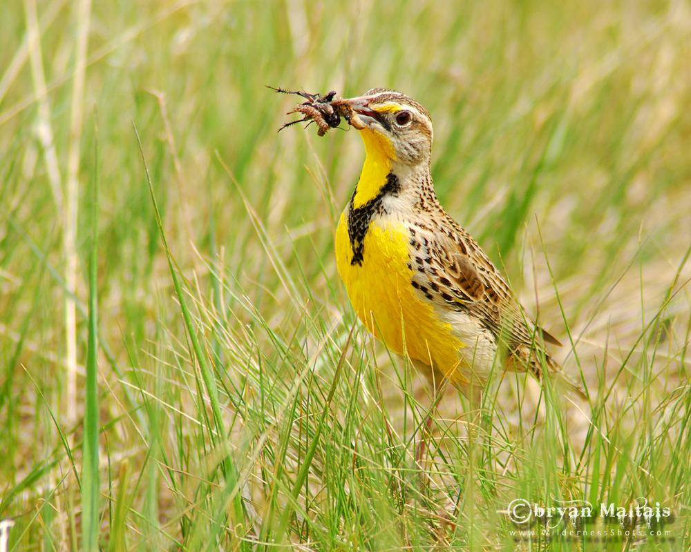 Western Meadowlark, Ft. Collins Colorado
