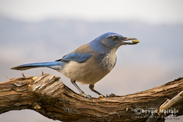 Western Scrub Jay, Ft. Collins Colorado