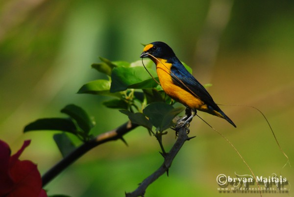 Yellow-throated Euphonia Belize