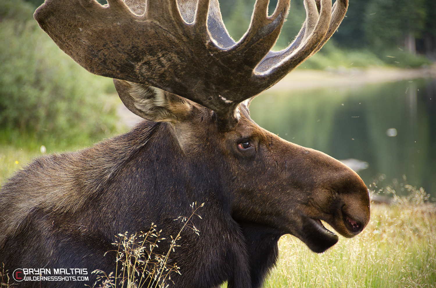 bull moose colorado