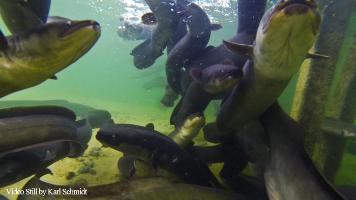 Longfin Eels New Zealand