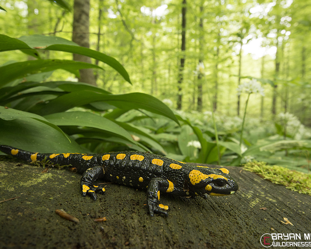 fire salamander in forest germany