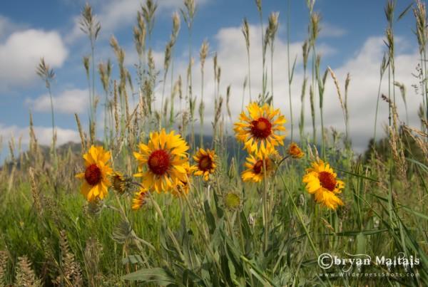 Gallardia Blanket Flowers Boulder Colorado