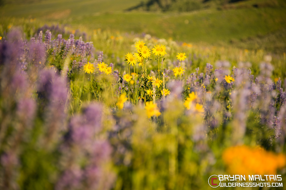 Crested Butte Wildflower Meadow