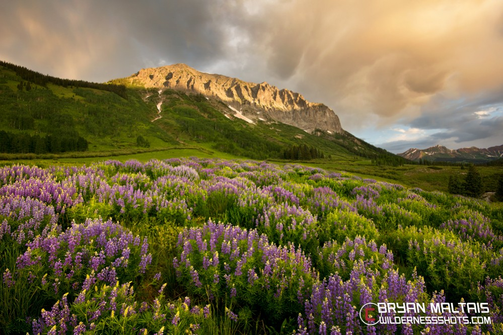 Gothic-Lupines-Crested-Butte