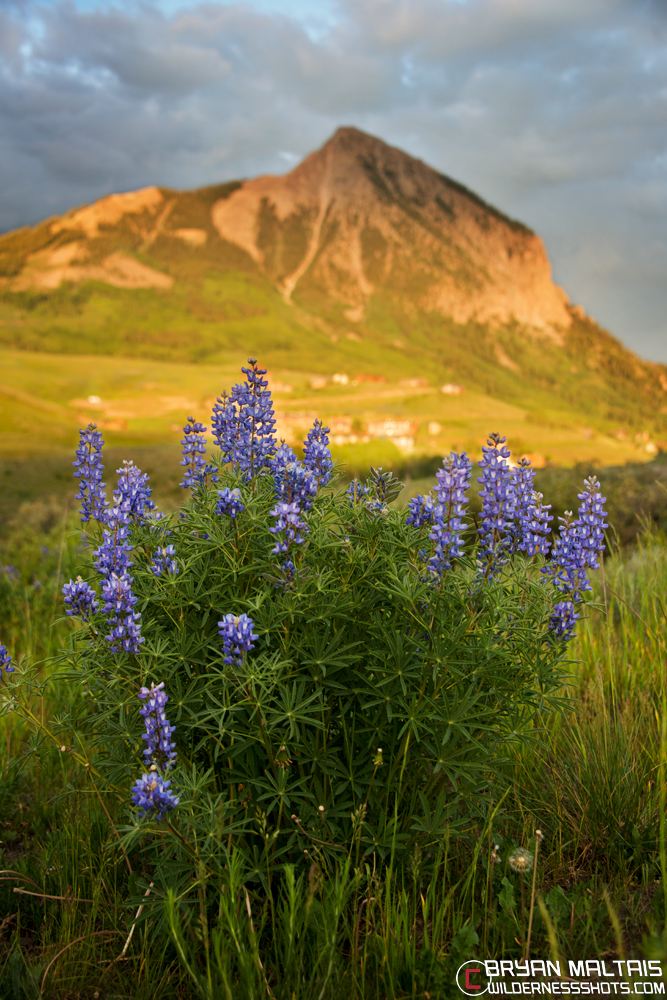 Lupines-Mt-Crested-Butte