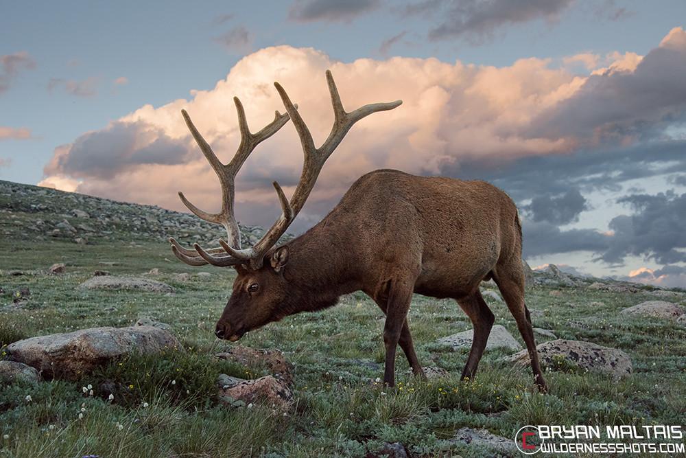Bull Elk Sunset Rocky Mountain National Park RMNPColorado