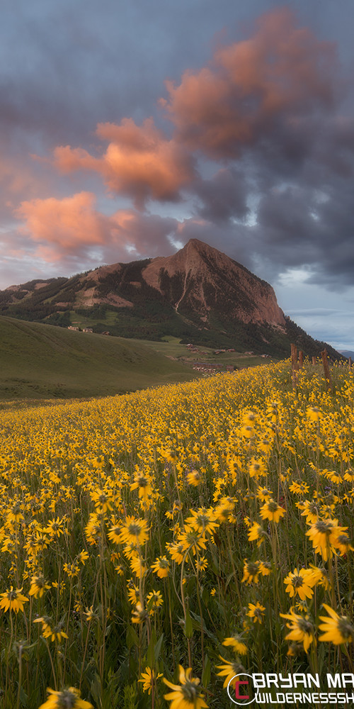 Mt Crested Butte Sunset Yellow Wildflowers