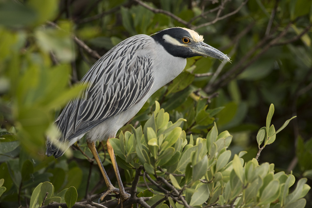 yellow crowned night heron florida mangroves