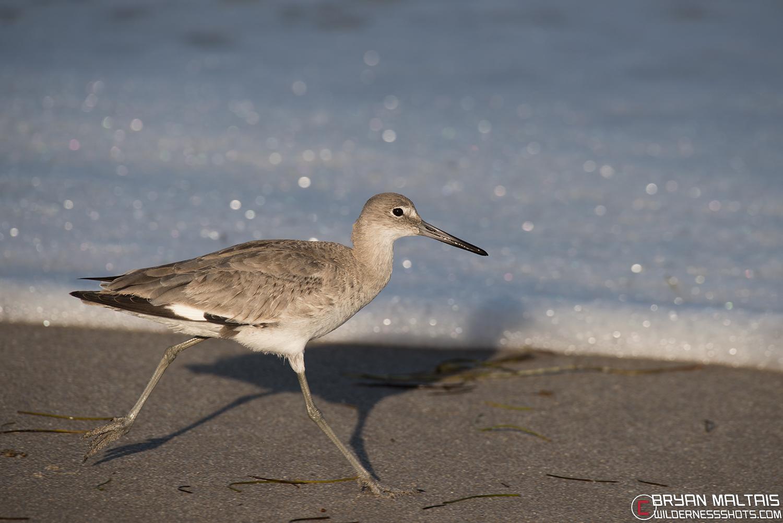 Willet Shorebird Florida