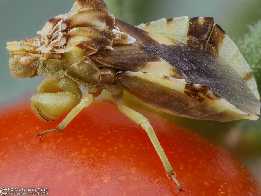 ambush bug super macro photography