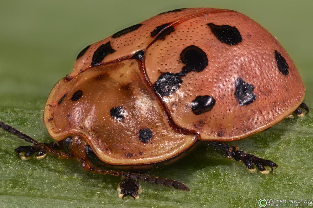 argus tortoise beetle insect macro photography