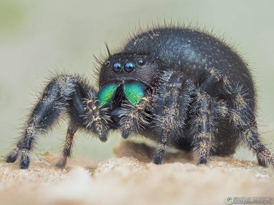 Bold Jumping Spider Macro Photo