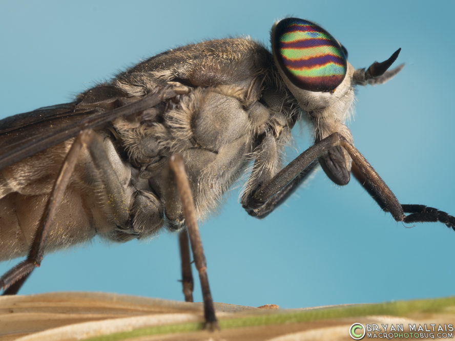 Horsefly Insect Macro Photography
