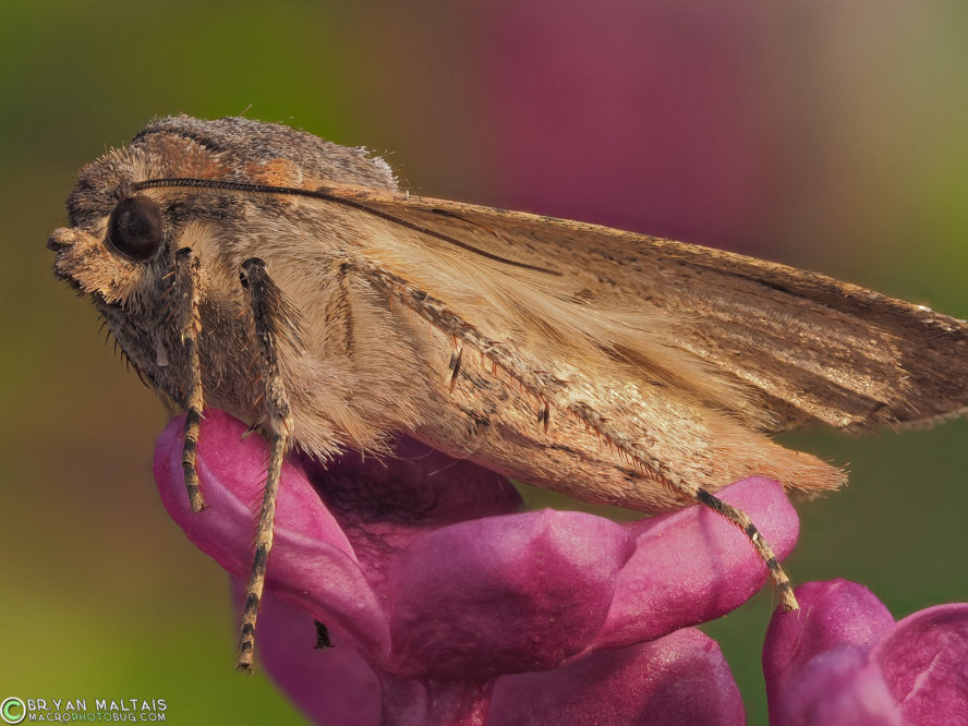 miller moth macro photography