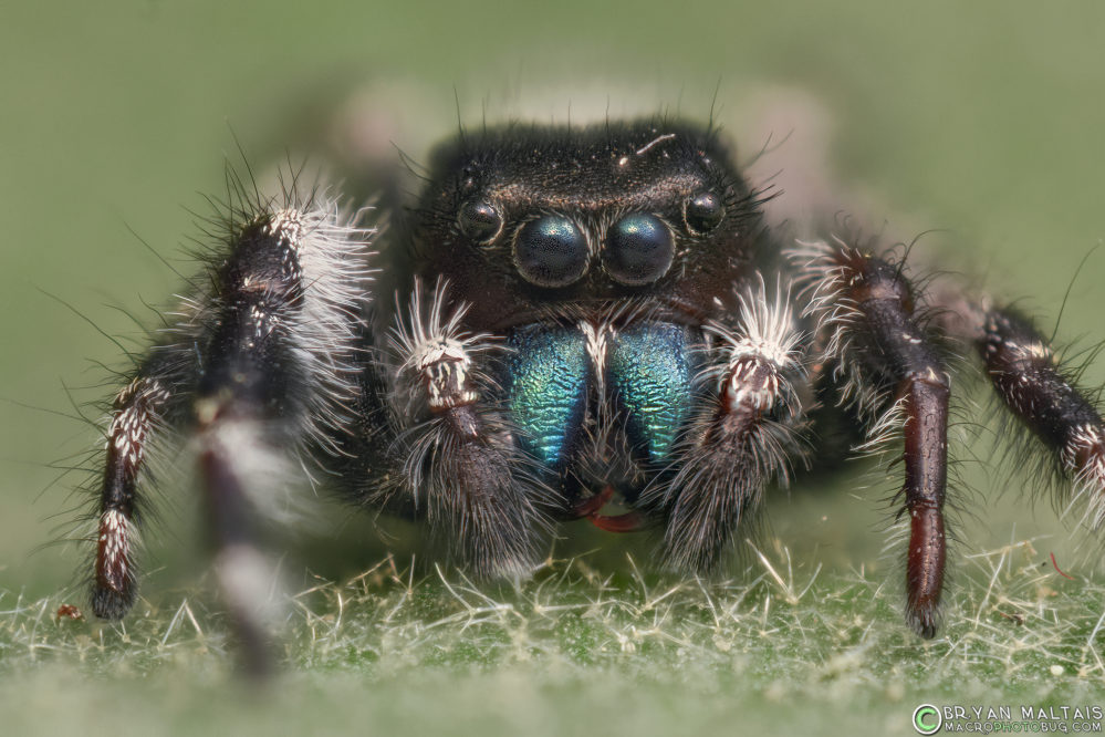 bold jumping spider super macro photography