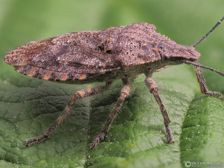 rough stink bug Brochymena super insect macro photography