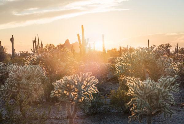 Sonora desert cactus sunset