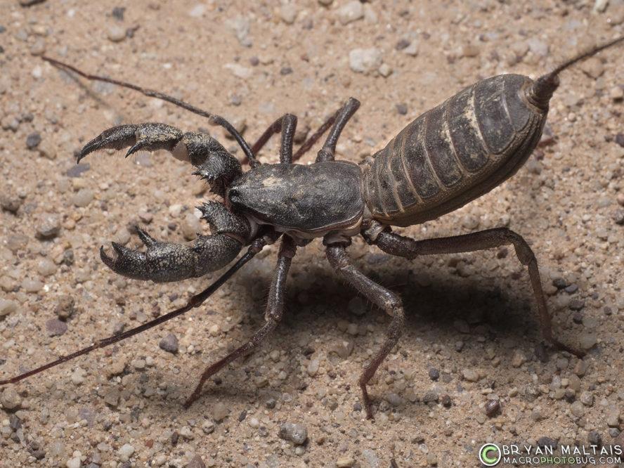 vinagaroon insect macro photography