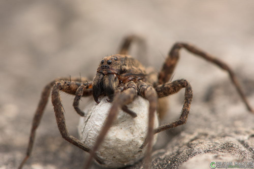 wold spider macro photography