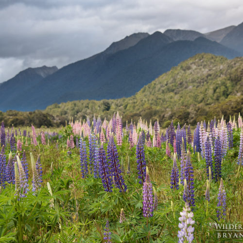 Eglinton Valley Lupines New Zealand Photography