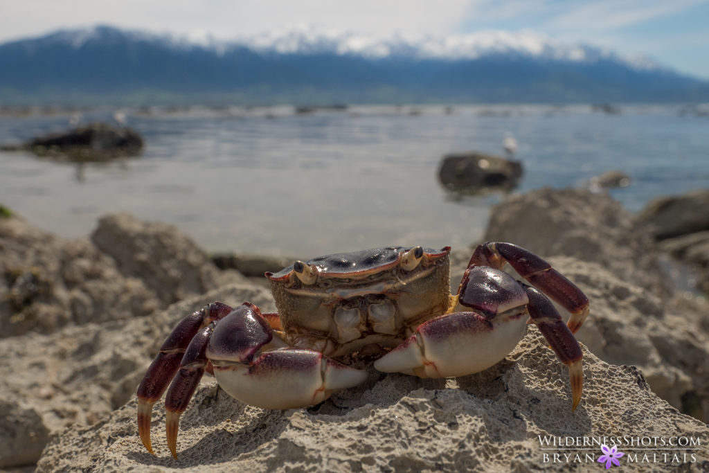 crab in habitat kaikoura new zealand