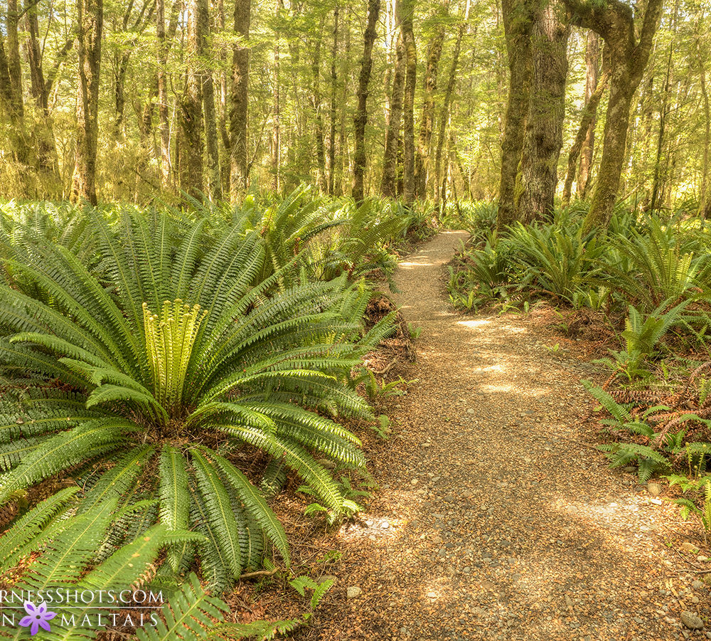 Fern Forest New Zealand Photography