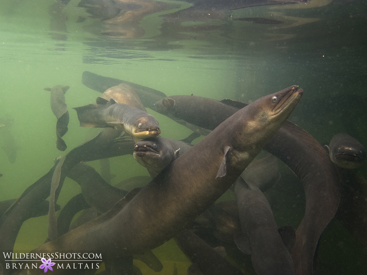 Long Fin Eel New Zealand Photography