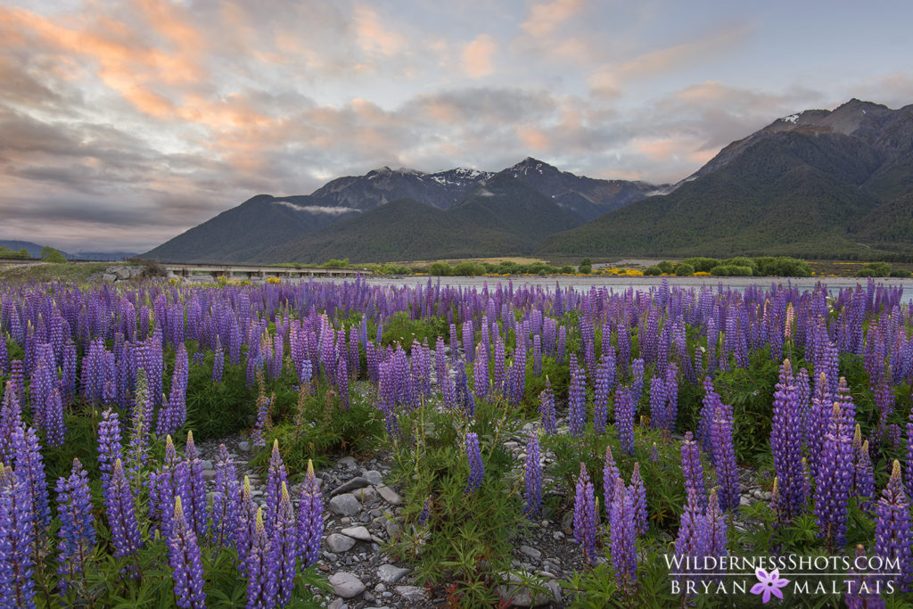 Lupine Sunset Arthurs Pass New Zealand