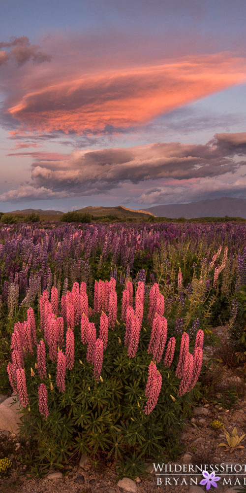 Lupine Sunset Vertical New Zealand Pictures