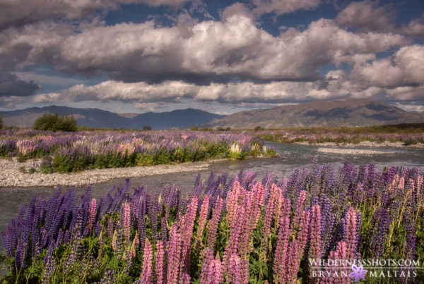 Lupine River New Zealand Pictures