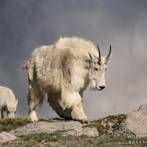 Mountain Goat Nanny with Kid Colorado Photos