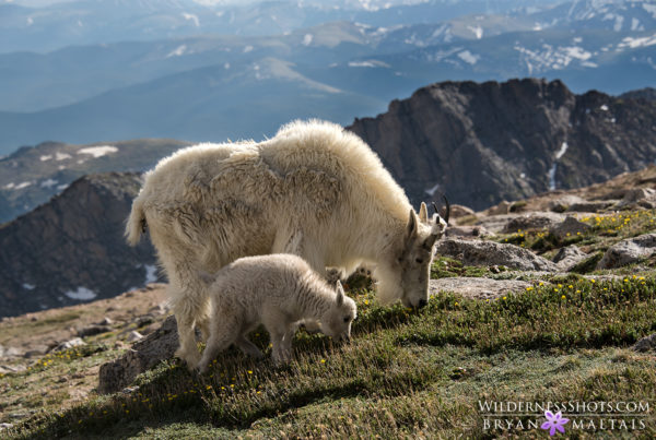 Mountain Goat Nanny with Kid Colorado Wildlife Photography