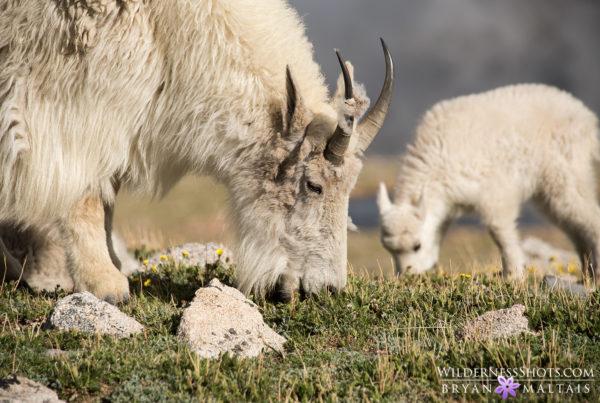 mountain Goat Portrait Colorado Photos